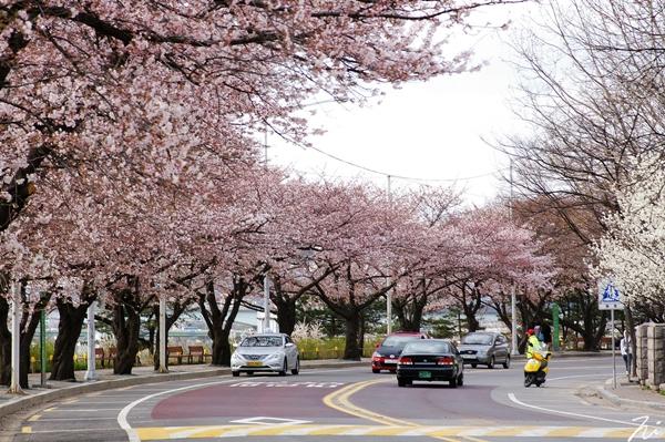 Quang cảnh tuyệt đẹp ở các địa điểm ngắm hoa anh đào tại Hàn Quốc 5