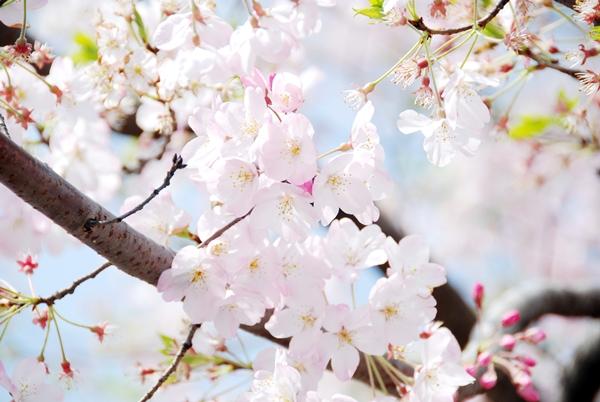Quang cảnh tuyệt đẹp ở các địa điểm ngắm hoa anh đào tại Hàn Quốc 9