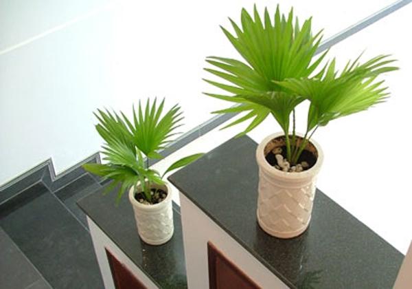 co canh Những loại cây cảnh dễ trồng và có tác dụng thanh lọc không khí trong nhà