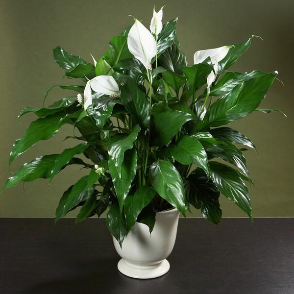 lan y Những loại cây cảnh dễ trồng và có tác dụng thanh lọc không khí trong nhà