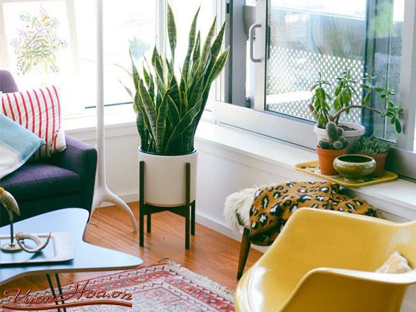 luoi ho Những loại cây cảnh dễ trồng và có tác dụng thanh lọc không khí trong nhà