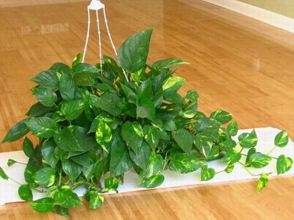 van Những loại cây cảnh dễ trồng và có tác dụng thanh lọc không khí trong nhà