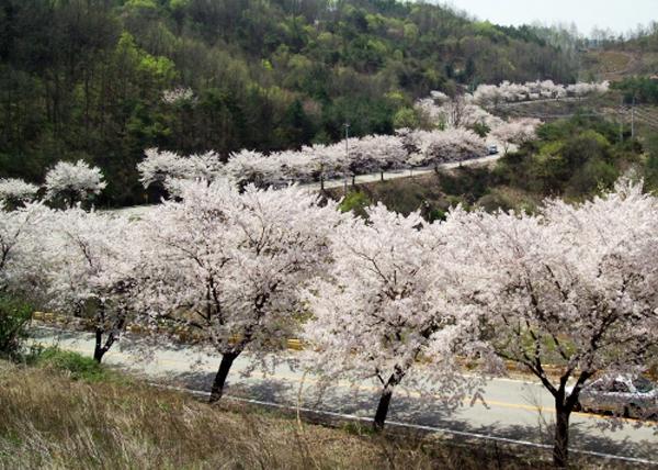 Quang cảnh tuyệt đẹp ở các địa điểm ngắm hoa anh đào tại Hàn Quốc 8