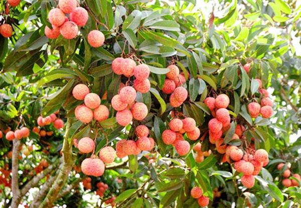 Những vườn quả ngon tuyệt cú mèo ở miền Bắc 15