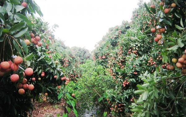 Những vườn quả ngon tuyệt cú mèo ở miền Bắc 14