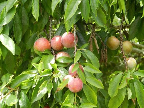Những vườn quả ngon tuyệt cú mèo ở miền Bắc 7