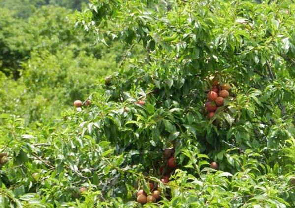 Những vườn quả ngon tuyệt cú mèo ở miền Bắc 5