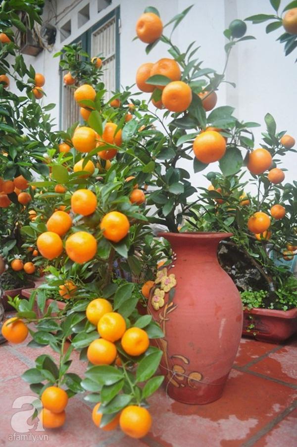 Kết quả hình ảnh cho cách trồng cây tắc trong chậu