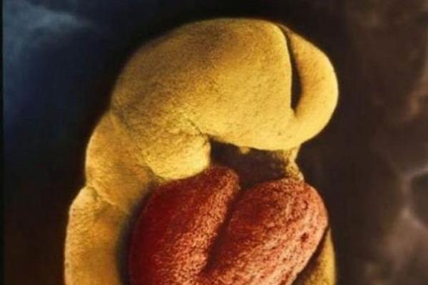 Sự lớn lên kì diệu của bào thai trong bụng mẹ 11