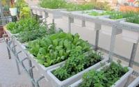 Giúp trẻ tránh táo bón nhờ rau xanh trồng tại nhà