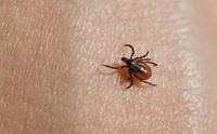 Mất mạng như chơi nếu xem thường vết cắn nguy hiểm của bọ chét