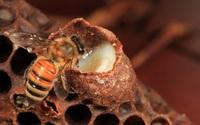 8 lợi ích tuyệt vời của sữa ong chúa đối với sức khỏe, mùa đông này chị em hãy trang bị ngay