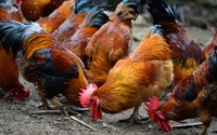Dù là gà sống hay gà đã làm thịt, chọn thế này là trăm con ngon như một