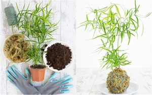 Học cách trồng cây tô điểm nhà theo cách Kokedama của người Nhật