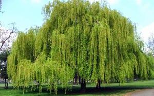 Những loài cây mang điềm rủi, vườn có rộng cỡ nào cũng tuyệt đối không nên trồng