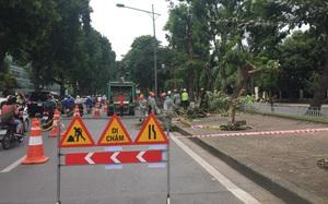 Hàng cây bằng lăng được nhiều người yêu thích trên đường Kim Mã bắt đầu bị chặt hạ, di dời
