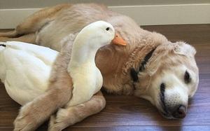 Tình bạn kỳ lạ: Chó và vịt quấn quýt với nhau không rời