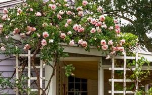 Kinh nghiệm tạo giàn hoa leo đẹp như trong mơ của cặp vợ chồng yêu hoa