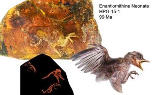Phát hiện miếng hổ phách tuyệt đẹp bao bọc con chim 99 triệu năm trước