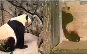 Cảnh tượng gấu trúc mẹ cào tường tìm con mới cai sữa khiến nhiều người không khỏi xót xa