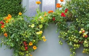 10 cách trồng rau quả đẹp như trồng hoa để vừa có rau ăn vừa làm đẹp khu vườn