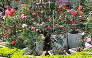 Sẽ trưng bày hơn 1.000 gốc hồng thật sau khi BTC gây thất vọng vì nhiều hoa giả và héo trong lễ hội Bulgaria năm ngoái