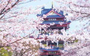 Không chỉ Nhật Bản, cứ đến mùa xuân là quốc gia này cũng ngập tràn sắc hoa anh đào khắp mọi miền