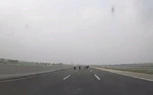 Clip: Nguyên một gia đình nhà bò bỗng dưng xuất hiện trong làn 100km/h trên cao tốc Hà Nội - Hải Phòng
