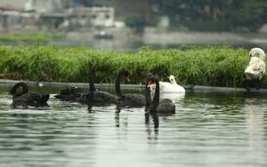 Thông tin về một cá thể thiên nga đen tại hồ Thiền Quang bị mất tích nhiều ngày qua