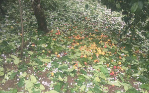 Người dân Mộc Châu có nguy cơ trắng tay vì đào, mơ rụng kín vườn sau cơn mưa đá