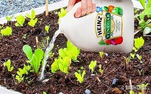 Con gái dùng giấm đổ vào đất trong vườn, bà mẹ phát hoảng vì sợ hỏng đất trồng rau nhưng vài ngày sau mới bất ngờ vì kết quả