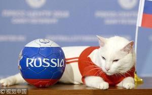 """""""Nhà tiên tri"""" chính thức của World Cup 2018 - chú mèo điếc Achilles đã chọn Nga chiến thắng trong trận đấu khai mạc tối nay"""