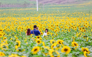 Ngắm cánh đồng hoa hướng dương bạt ngàn hút mắt, vàng rực kiêu hãnh trong cơn mưa đầu xuân