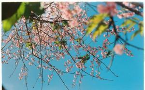 Lên Đà Lạt mùa này tuyệt như đi Nhật, có mai anh đào nở rộ rực hồng, trời lại rất xanh trong