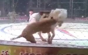 Đang diễn tập bình thường, sư tử và hổ nhảy vào cắn xé con ngựa trong rạp xiếc ngay trước mắt người huấn luyện