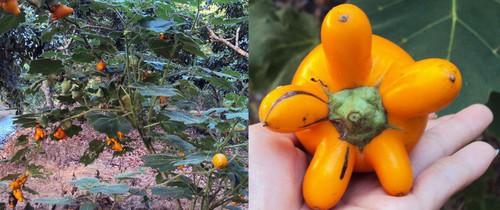 Cảnh báo chất cực độc có trong loại quả mà chị em vẫn đổ xô đi mua về bày mâm ngũ quả dịp Tết