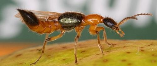 Mùa này nhà nào cũng có kiến ba khoang độc hơn nọc rắn: Để không bị đốt và lây lan đừng quên làm thế này