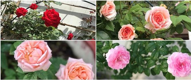 Vẻ quyến rũ của hàng trăm loài hoa hồng quý trên sân thượng 50m² của chàng trai độc thân 8x ở Vũng Tàu
