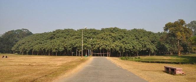 Kinh ngạc cây đa khổng lồ có tán lan rộng ngang với cả một khu rừng