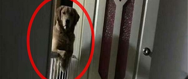 Thấy chú chó tối nào cũng đứng ngóng mình ngủ, người đàn ông ngã ngửa khi biết lý do