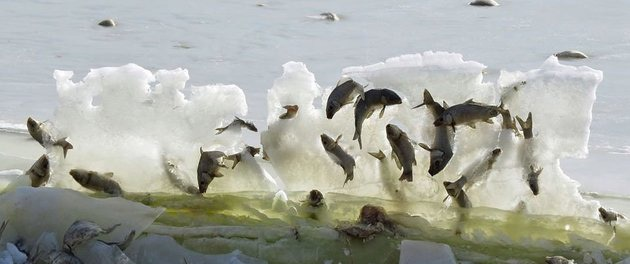 Sự thật bất ngờ phía sau cảnh tượng đàn cá đóng băng khi nhảy lên khỏi mặt nước