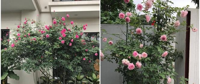 Khu vườn 400m² có những gốc hồng hàng chục năm tuổi đẹp mê hồn ở Hà Nội