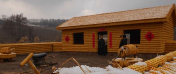 Thu thập bắp ngô về đổ đầy sân, người nông dân khiến hàng xóm choáng váng khi thấy thành quả