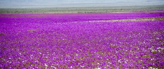 Hiện tượng kỳ lạ: Muôn hoa đua nở rực rỡ sắc màu ở sa mạc khô cằn nhất thế giới