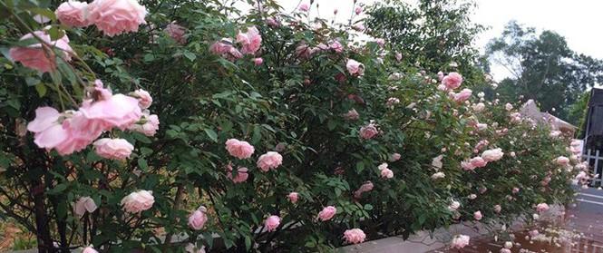 Ngất ngây trước ngôi nhà vườn trồng hàng nghìn gốc hồng nở hoa rực rỡ ở Ba Vì, Hà Nội
