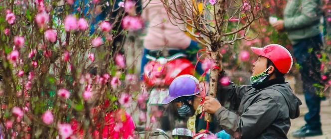 Hoa đào như những áng mây xa, nhuộm hồng từng khoảng trời Hà Nội