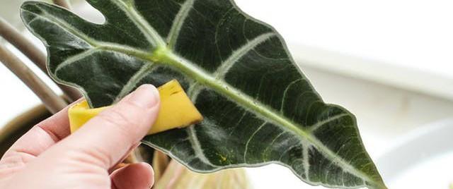 Nếu chưa từng lấy vỏ chuối lau lá cây thì hãy thử một lần, bạn sẽ tiếc nuối sao không biết mẹo này sớm hơn