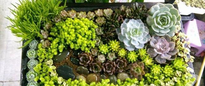 Vườn sen đá đẹp ngất ngây của chàng trai Hà Nội dành cả tuổi thanh xuân cho niềm đam mê của mình