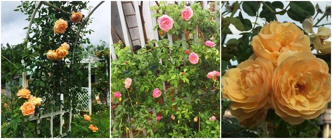 Anh chồng 8x chăm sóc khu vườn rộng hơn 1000m² với 300 loại hoa hồng để tặng vợ ở Bình Phước