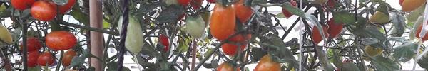 Bí quyết trồng cà chua bi cho ra hàng trăm quả của cô gái 8x ở Sài Gòn